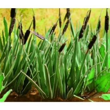 Ziterdes - Reed, 16 plants