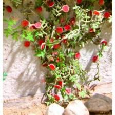 Ziterdes - Laser-Cut minis Rambler roses 6 plants